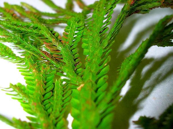 Dwarf Spikemoss (Selaginella Arbuscula) http://www.sagebud.com/dwarf-spikemoss-selaginella-arbuscula/