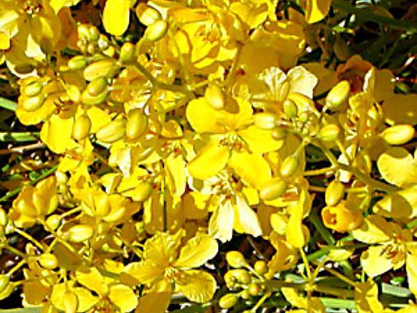 Desertsenna (Senna Armata) http://www.sagebud.com/desertsenna-senna-armata