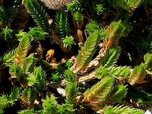Bushy Spikemoss