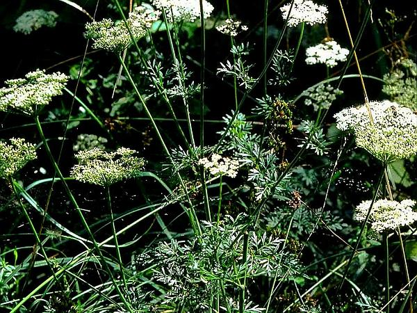 Little-Leaf Angelica (Selinum Carvifolia) http://www.sagebud.com/little-leaf-angelica-selinum-carvifolia