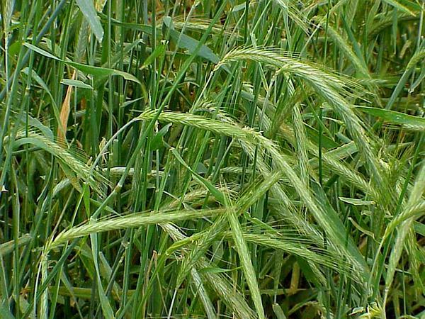 Rye (Secale) http://www.sagebud.com/rye-secale/