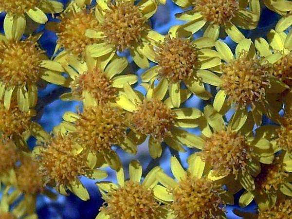 Dusty Miller (Senecio Cineraria) http://www.sagebud.com/dusty-miller-senecio-cineraria