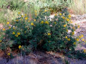 Coues' Cassia