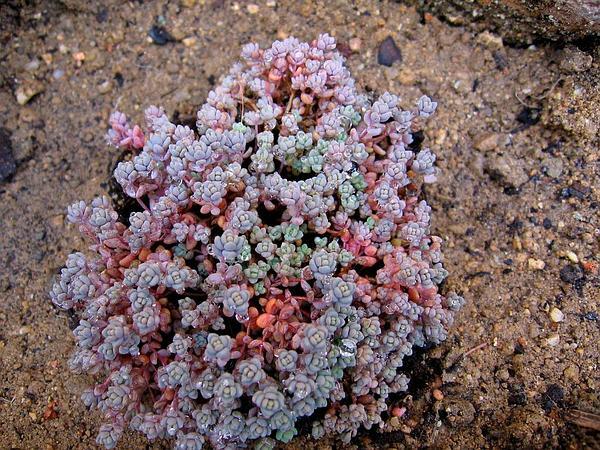 Thick-Leaf Stonecrop (Sedum Dasyphyllum) http://www.sagebud.com/thick-leaf-stonecrop-sedum-dasyphyllum