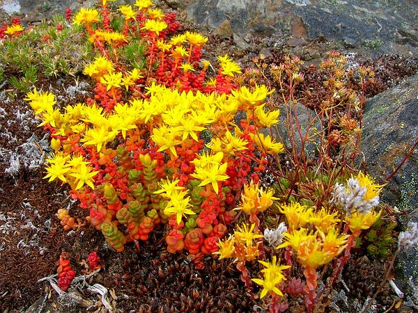 Pacific Stonecrop (Sedum Divergens) http://www.sagebud.com/pacific-stonecrop-sedum-divergens