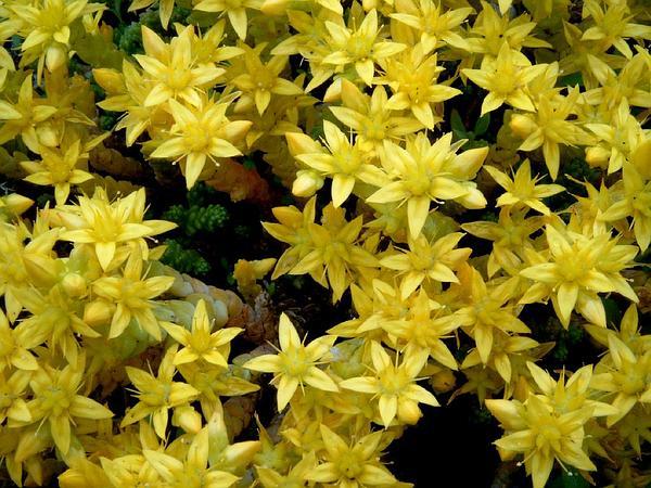 Stonecrop (Sedum) http://www.sagebud.com/stonecrop-sedum