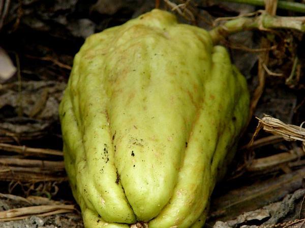 Chayote (Sechium Edule) http://www.sagebud.com/chayote-sechium-edule