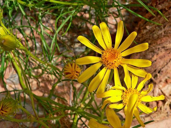 Threadleaf Ragwort (Senecio Flaccidus) http://www.sagebud.com/threadleaf-ragwort-senecio-flaccidus