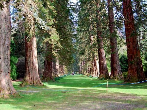 Giant Sequoia (Sequoiadendron Giganteum) http://www.sagebud.com/giant-sequoia-sequoiadendron-giganteum/