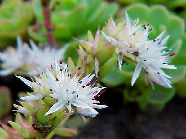 Cliff Stonecrop (Sedum Glaucophyllum) http://www.sagebud.com/cliff-stonecrop-sedum-glaucophyllum