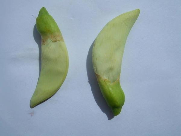 Vegetable Hummingbird (Sesbania Grandiflora) http://www.sagebud.com/vegetable-hummingbird-sesbania-grandiflora/