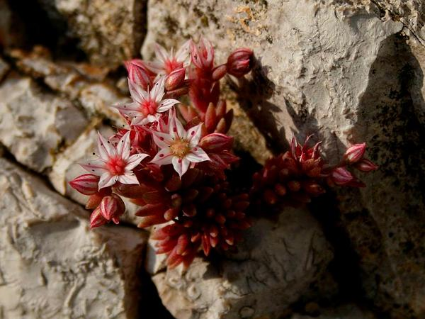 Spanish Stonecrop (Sedum Hispanicum)