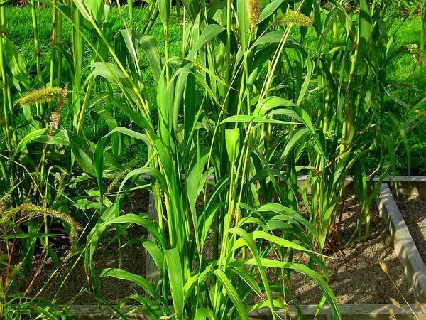 Foxtail Bristlegrass (Setaria Italica) http://www.sagebud.com/foxtail-bristlegrass-setaria-italica