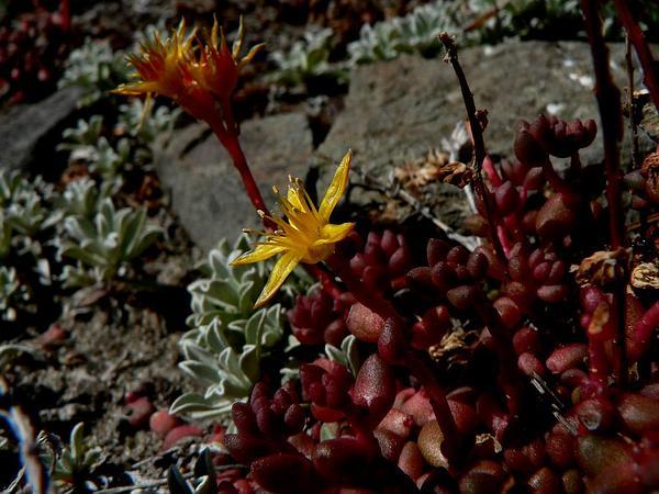 Spearleaf Stonecrop (Sedum Lanceolatum) http://www.sagebud.com/spearleaf-stonecrop-sedum-lanceolatum