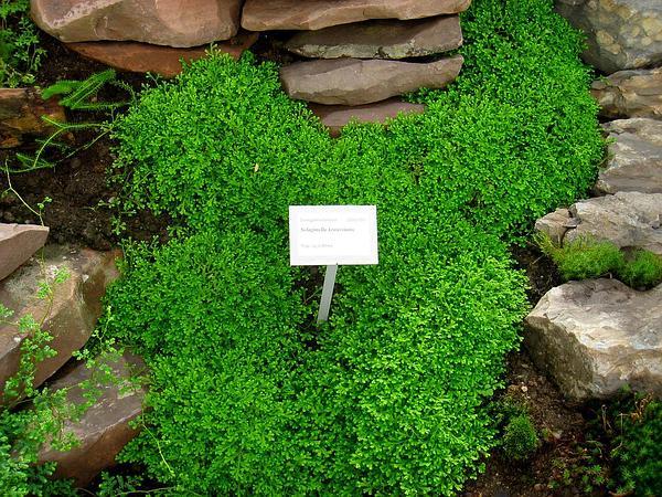 plantas bordaduras jardimFonte imagens Google imagens