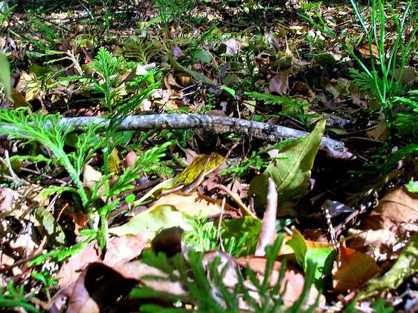 Spikemoss (Selaginella) http://www.sagebud.com/spikemoss-selaginella