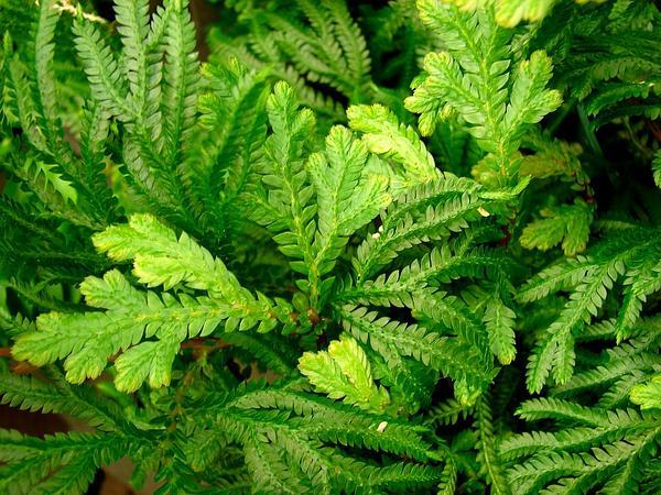 Spikemoss (Selaginella) http://www.sagebud.com/spikemoss-selaginella/