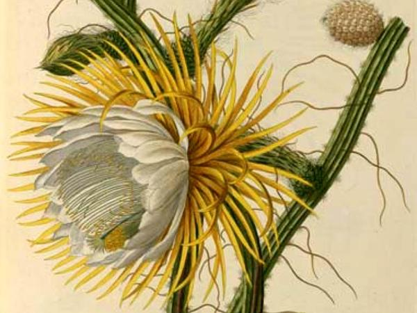 Moonlight Cactus (Selenicereus) http://www.sagebud.com/moonlight-cactus-selenicereus/