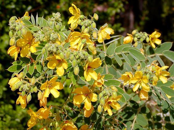 Velvet Leaf Senna (Senna Lindheimeriana) http://www.sagebud.com/velvet-leaf-senna-senna-lindheimeriana