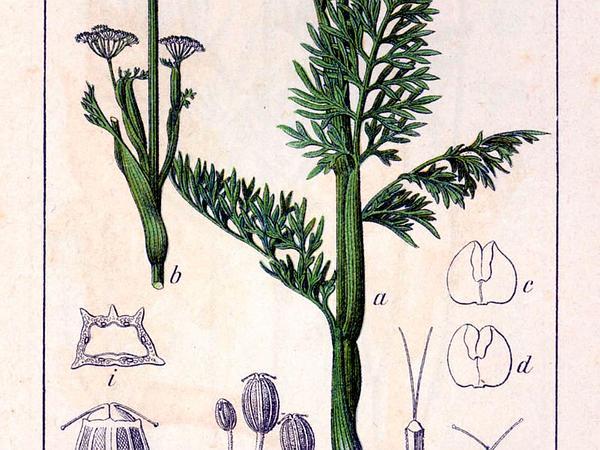 Selinum (Selinum) http://www.sagebud.com/selinum-selinum