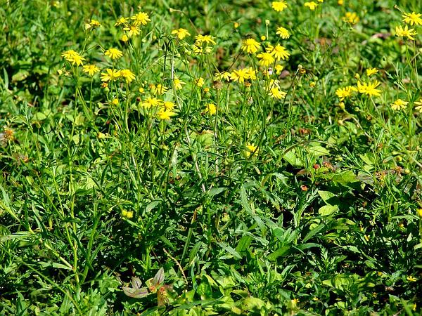 Madagascar Ragwort (Senecio Madagascariensis) http://www.sagebud.com/madagascar-ragwort-senecio-madagascariensis/