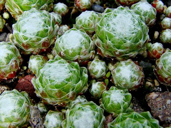 Houseleek (Sempervivum) http://www.sagebud.com/houseleek-sempervivum/