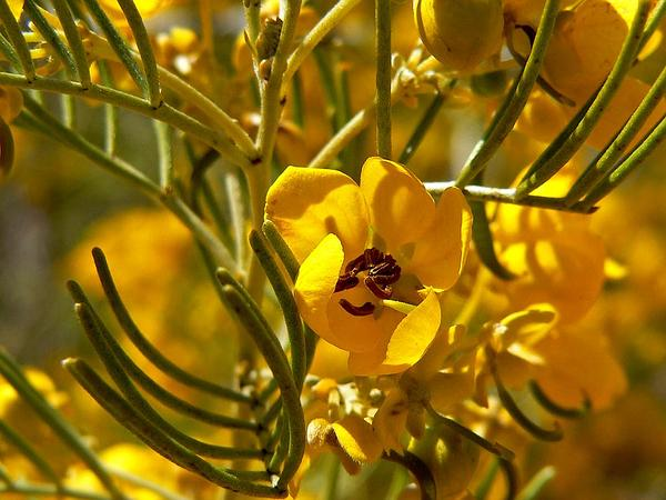 Senna (Senna) http://www.sagebud.com/senna-senna