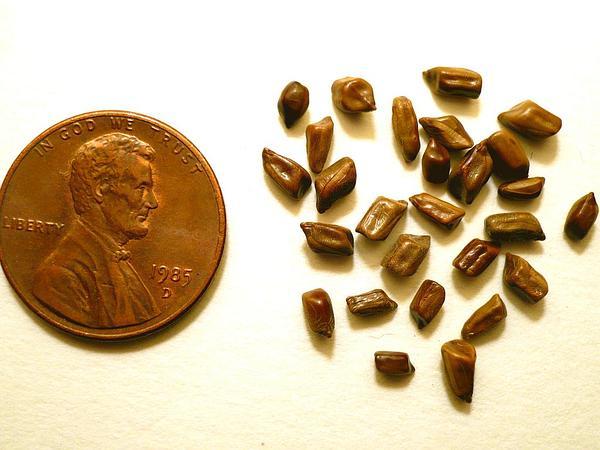 Java-Bean (Senna Obtusifolia) http://www.sagebud.com/java-bean-senna-obtusifolia/