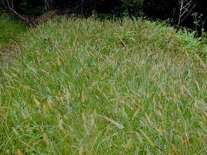 Marsh Bristlegrass