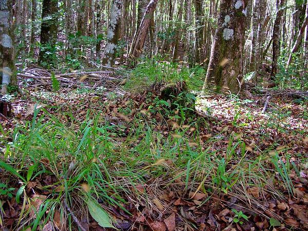 Marsh Bristlegrass (Setaria Parviflora) http://www.sagebud.com/marsh-bristlegrass-setaria-parviflora