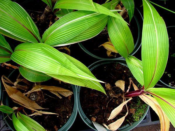 Palmgrass (Setaria Palmifolia) http://www.sagebud.com/palmgrass-setaria-palmifolia