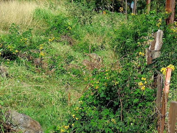 Valamuerto (Senna Pendula) http://www.sagebud.com/valamuerto-senna-pendula