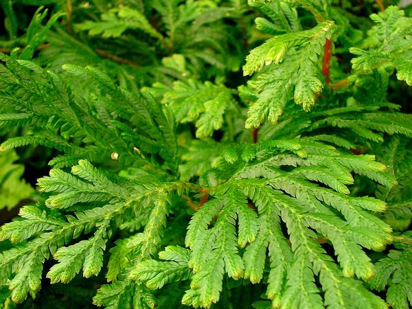 Asian Spikemoss (Selaginella Plana) http://www.sagebud.com/asian-spikemoss-selaginella-plana