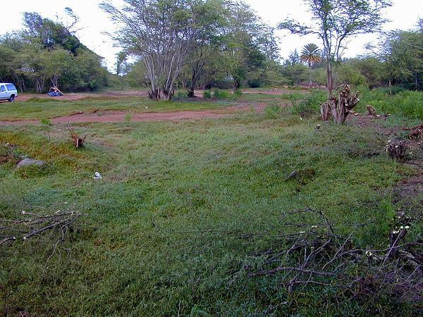 Shoreline Seapurslane (Sesuvium Portulacastrum) http://www.sagebud.com/shoreline-seapurslane-sesuvium-portulacastrum