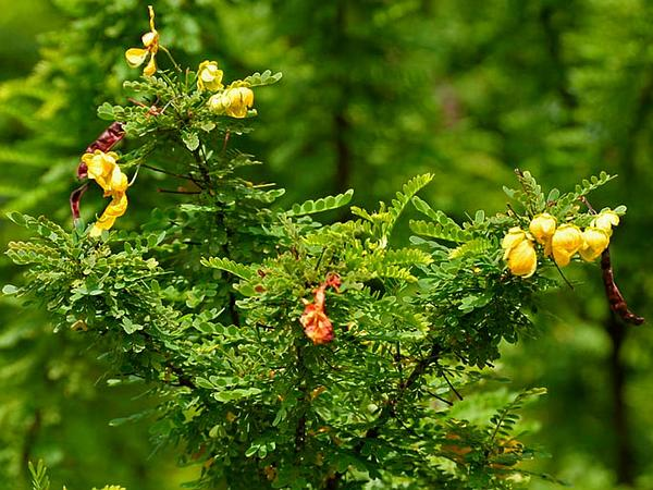 Retama Prieta (Senna Polyphylla) http://www.sagebud.com/retama-prieta-senna-polyphylla