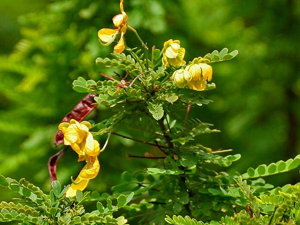 Retama Prieta (Senna Polyphylla) http://www.sagebud.com/retama-prieta-senna-polyphylla/