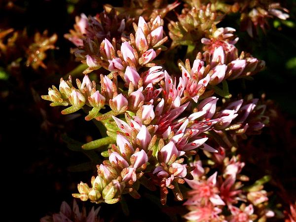 Widowscross (Sedum Pulchellum) http://www.sagebud.com/widowscross-sedum-pulchellum