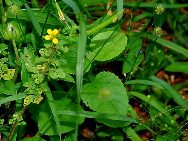 Yellow Foxtail (Setaria Pumila) http://www.sagebud.com/yellow-foxtail-setaria-pumila