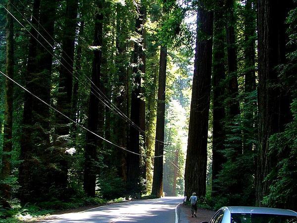 Redwood (Sequoia) http://www.sagebud.com/redwood-sequoia