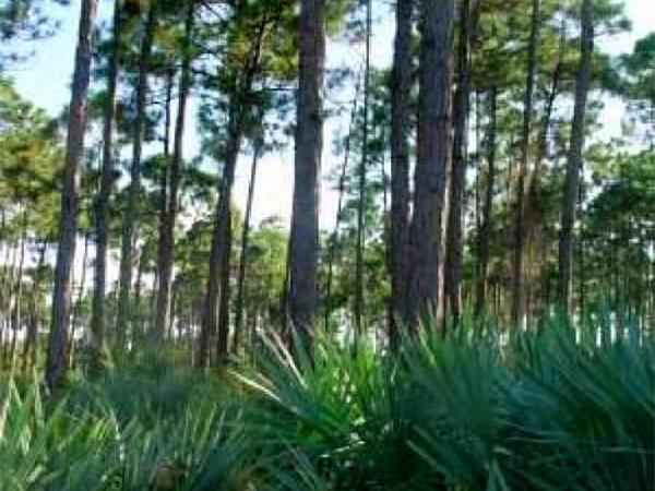 Saw Palmetto (Serenoa Repens) http://www.sagebud.com/saw-palmetto-serenoa-repens/