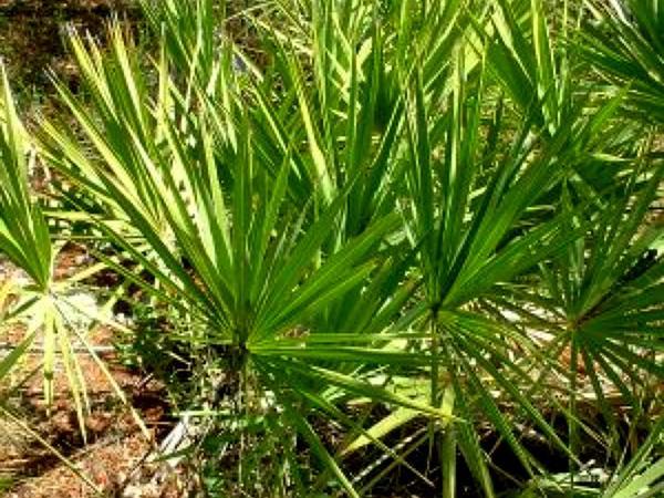 Serenoa (Serenoa) http://www.sagebud.com/serenoa-serenoa/