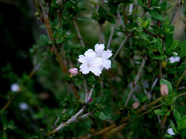 Snowrose (Serissa) http://www.sagebud.com/snowrose-serissa/