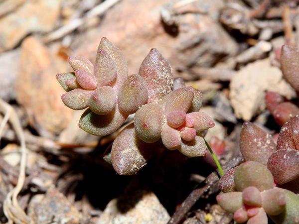 Curvedleaf Stonecrop (Sedum Rupicola) http://www.sagebud.com/curvedleaf-stonecrop-sedum-rupicola