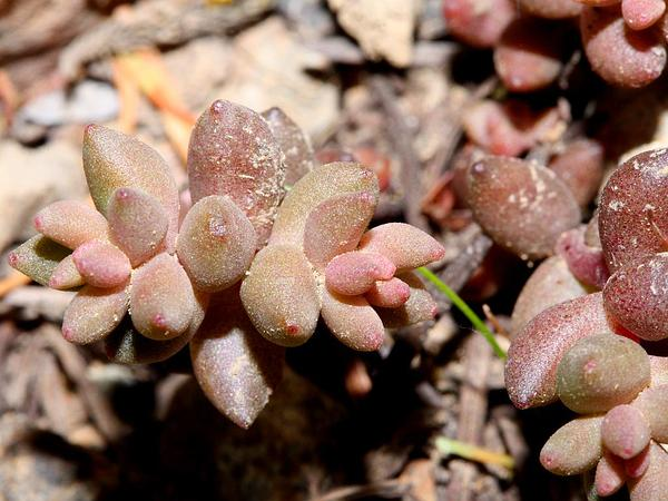 Curvedleaf Stonecrop (Sedum Rupicola) http://www.sagebud.com/curvedleaf-stonecrop-sedum-rupicola/