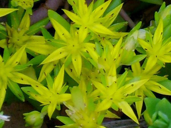 Stringy Stonecrop (Sedum Sarmentosum) http://www.sagebud.com/stringy-stonecrop-sedum-sarmentosum/