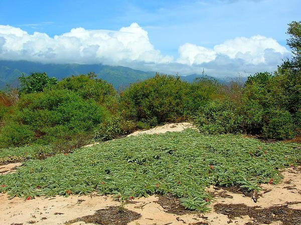 Riverhemp (Sesbania) http://www.sagebud.com/riverhemp-sesbania