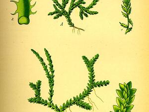 SESE/Illustration_Selaginella_selaginoides0_300.jpg