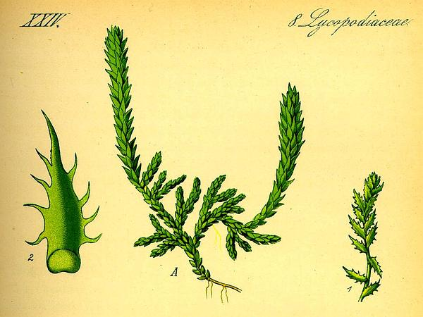 Club Spikemoss (Selaginella Selaginoides) http://www.sagebud.com/club-spikemoss-selaginella-selaginoides