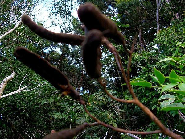 Arsenic Bush (Senna Septemtrionalis) http://www.sagebud.com/arsenic-bush-senna-septemtrionalis