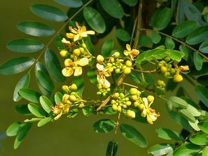 Siamese Cassia